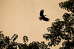 Wrinkled Hornbill<br /> (Rhabdotorrhinus corrugatus) male flying, Tabin Wildlife Reserve, Sabah, Borneo, Malaysia