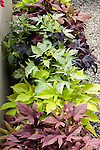 Mix of 'Sweet Caroline' Bronze, Light Green, Green-Yellow, and Purple Ornamental Sweet Potato, Ipomoea hybrid