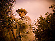 An elderly Italian man works on an olive farm in Tuscany, Italy