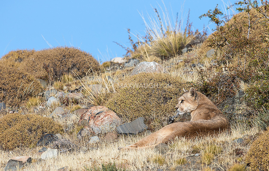 A female puma rests in the afternoon sun.