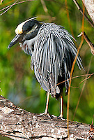Yellow-crowned night-heron adult