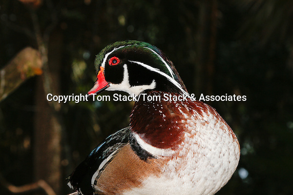Male Wood Duck or Carolina Duck (Aix sponsa)(Captive)