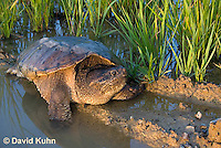 0611-0919  Snapping Turtle Exploring Pond Edge, Chelydra serpentina  © David Kuhn/Dwight Kuhn Photography