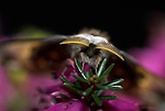 Emperor Moth, Saturnia pavonia, male close up of antennae, fluffy, on heather, head.United Kingdom....