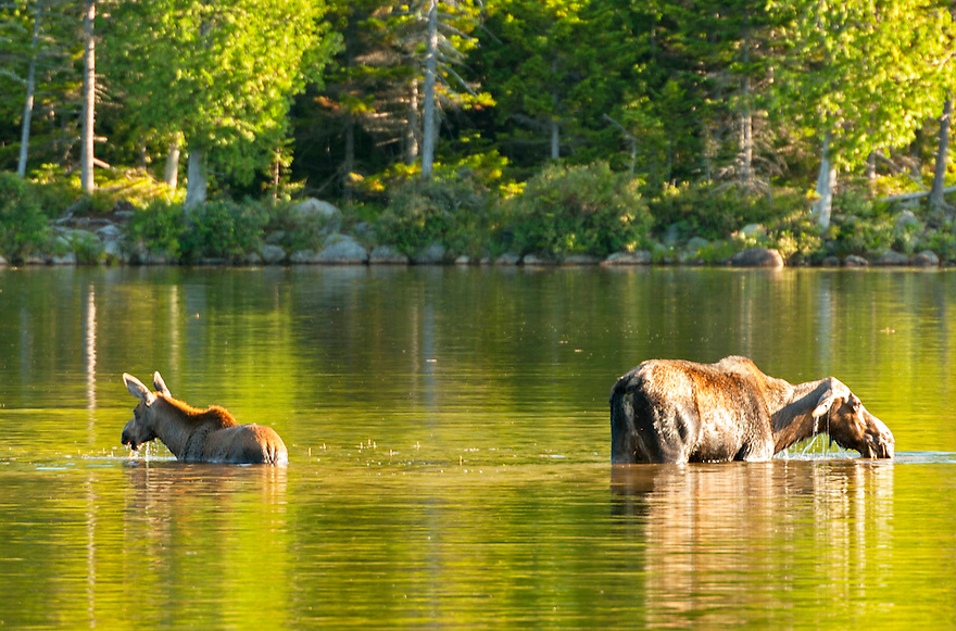 Cow and Calf wade into Sandy Stream Pond for a breakfast of aquatic plants in Maine's Baxter State Park.