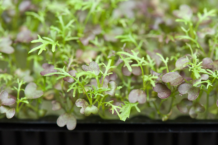 Mustard 'Red Frills' grown in seed trays as a micro-leaf salad veg.