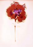 Lumen Print of Rose