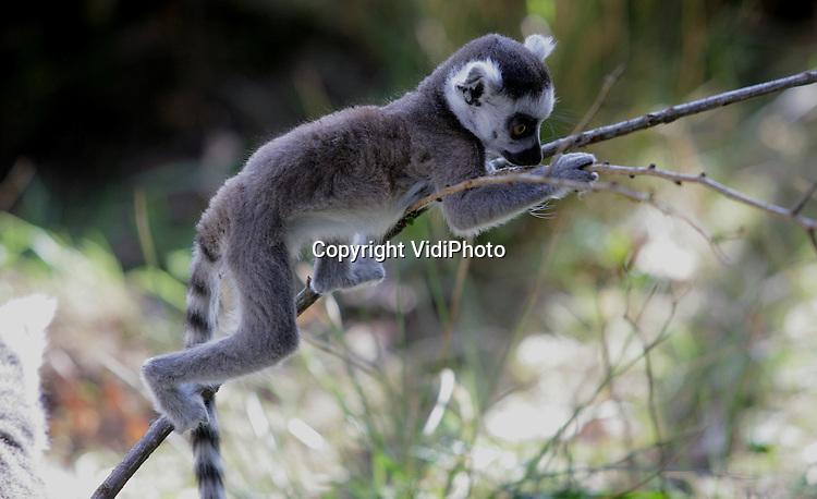 Foto: VidiPhoto..APELDOORN - Ringstaartmaki's in de Apenheul in Apeldoorn genieten donderdag van de zon en van het publiek. Donderdag werd in de Apenheul het startsein gegeven voor een internationale campagne om deze en andere halfapen op Madagascar te beschermen Doel is om via acties in Europese dierentuinen 500.000 euro bij elkaar te krijgen en dat geld te doneren aan diverse natuurbeschermingsprojecten op Madagascar..
