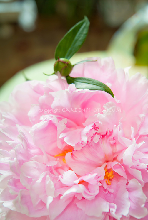 Paeonia Sarah Bernhardt peonies herbaceous perennial pink flowers peony in late spring early summer, cut flower