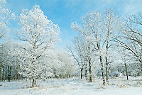 Hoarfrost on Seine River Forest in winter.<br /> Winnipeg<br /> Manitoba<br /> Canada