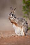 Desert Cottontail (Sylvilagus audubonii), feeding while sitting on hind legs, Rancho Santa Clara, Rio Grande Valley, Texas, USA