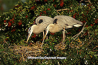 00684-03902 Great Blue Herons (Ardea herodias) at nest Sarasota Co.   FL