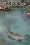 Foto: VidiPhoto<br /> <br /> ARNHEM &ndash; In aanwezigheid van minister of state van Belize, Omar Figueroa, is woensdag in Arnhem de grootste overdekte Mangrove ter wereld officieel geopend. Belangrijkste onderdeel van Burgers&rsquo; Mangrove is de ecodisplay met maar liefst 1 miljoen liter water en daarin drie enorme Caribische zeekoeien. Onder een enome koepel van 16 meter hoog bevind zicht 3000 vierkante natuurgebied, ge&iuml;nspireerd op een natuurgebied in Belize. De zeekoeien zijn de duurste kostgangers van het park: ze eten 25 kilo andijvie per dier per dag. Daarnaast bevinden zich er wenkkrabben, vlinders, vogels en vissen. De komende jaren zullen er meer diersoorten worden toegevoegd aan het systeem.