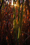 Sunset light through cattail reeds causes a sunstar, Rocky Mountain plains, CO