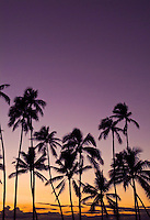 Tall palm trees at sunset, San Souci beach, also known as Kaimana beach, near Kapiolani park, Waikiki
