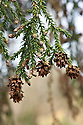 Flowers and dried cones of King William pine (Athrotaxis selaginoides), late March. A form of Tasmanian cedar, from western Tasmania.