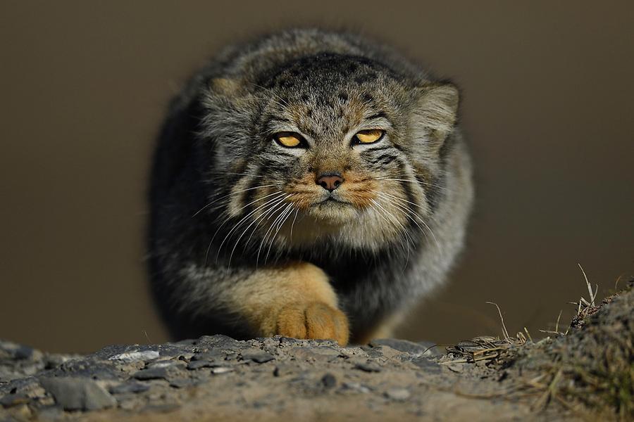 Pallas's cat (Otocolobus manul), also called the manul, Tibetan Plateau 5000 m asl, Qinghai, China