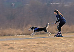 """SKIJORING""  (Norwegian for ski driving).  Winter sport of dogs pulling humans on skis in the guise of exercise for individual northern breed sleddogs.  This lady doing the dry-land version using Rollerblades.  Mercer Park, Mercer County, New Jersey"