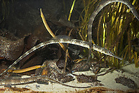 Große Seenadel, Gemeinsam mit Schlangennadeln zwischen Seegras, Syngnathus acus, great pipefish, greater pipefish, Seenadeln, Syngnathidae, pipefishes