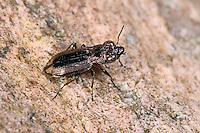 Zweifleckiger Laubläufer, Eilkäfer, Notiophilus biguttatus, ground beetle