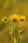 backlit coreopsis