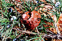FUNGUS<br /> Gall Stage: Cedar-Apple Rust Fungus On Cedar Tree<br /> Orange gelatinous mass will dry &amp; release millions of spores. If spores find young fruit or an apple leaf they will germinate &amp; grow more orange spores which must return to the juniper to start a gall(1st stage). Gymmnosporangium Juiperi-virginianae.