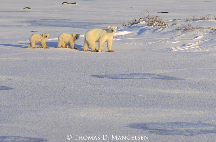 Two young Polar Bear cubs walk along the snowy tundra following their mother.