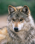 Mexican wolf, portrait, in captivity