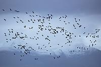 Migratory Brant at Izembek NWR, Alaska.