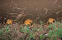 Cane Toads (Bufo marinus) showing density of population in farm dam near Rockhampton, Queensland