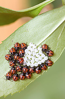 Brown Marmorated Stink Bug nymphs; Halyomorpha halys; egg shells and hatchlings; on Forsythia; PA, Philadelphia