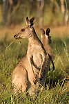 Undara Volcanic National Park, Queensland, Australia; a female Eastern Grey Kangaroo (Macorpus giganteus) with a joey in it's pouch and a juvenile nearby, feeding on grasses in early morning light