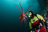 pp0063-D. Pacific Giant Octopus (Enteroctopus dofleini) interacts with scuba diver (Model Released). British Columbia, Canada, Pacific Ocean..Photo Copyright © Brandon Cole. All rights reserved worldwide.  www.brandoncole.com..This photo is NOT free. It is NOT in the public domain. This photo is a Copyrighted Work, registered with the US Copyright Office. .Rights to reproduction of photograph granted only upon payment in full of agreed upon licensing fee. Any use of this photo prior to such payment is an infringement of copyright and punishable by fines up to  $150,000 USD...Brandon Cole.MARINE PHOTOGRAPHY.http://www.brandoncole.com.email: brandoncole@msn.com.4917 N. Boeing Rd..Spokane Valley, WA  99206  USA.tel: 509-535-3489