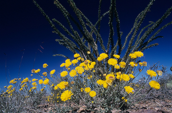 Desert Marigold, Baileya multiradiata, blossomand Ocotillo Cactus (Fouquieria splendens), Big Bend National Park, Texas, USA, Oktober 2003