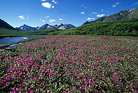A thousand purple flowers bloom along the Sanctuary River in Denali National Park, Alaska.