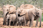 Elephant breeding herd, Loxodonta africana, Addo Elephant National Park, Eastern Cape, South Africa