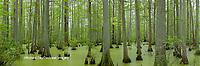 63895-14508 Bald Cypress trees (Taxodium distichum) Heron Pond Little Black Slough Johnson Co. IL