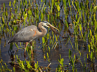 Great Blue Heron catching frog