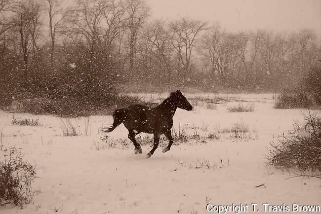 Horse Galloping Through Snowstorm