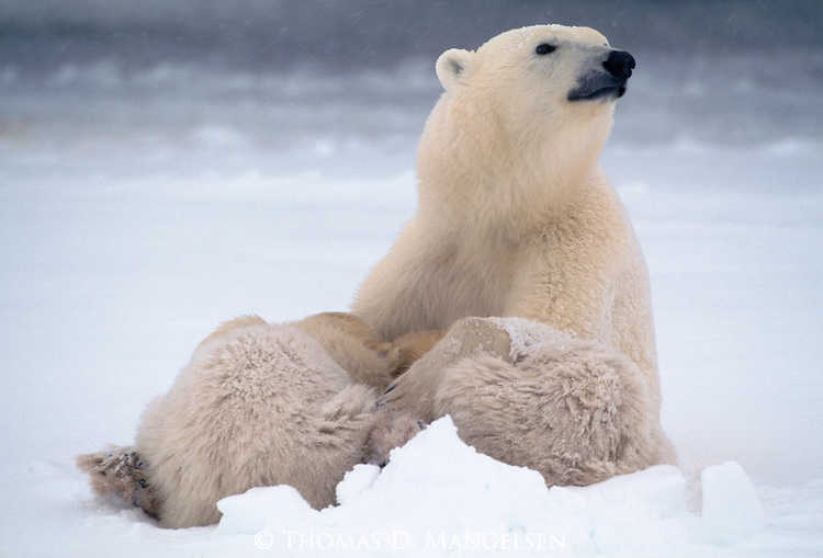 A polar bear sits in the snow with her cubs cuddled up to her.