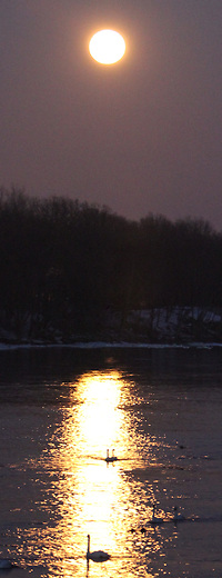 trumpeter Swans in golden light of the full moon.
