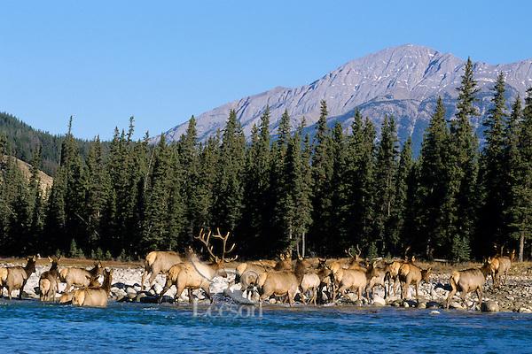 Rocky Mt. Elk Canadian Rockies. Fall Athabasca River, Jasper National Park.