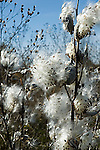 Mature milkweed seed pods, Asclepias sp.<br />