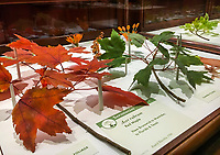 Red Maple leaves, Acer rubrum - Glass Flowers Exhibit Harvard Museum of Natural History; The Ware Collection of Blaschka Glass Models of Plants