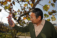 Grace Wine Managing Director Shigekazu Misawa in a  Katsunuma vineyard, Yamanashi Prefecture, Japan, October 12, 2009.
