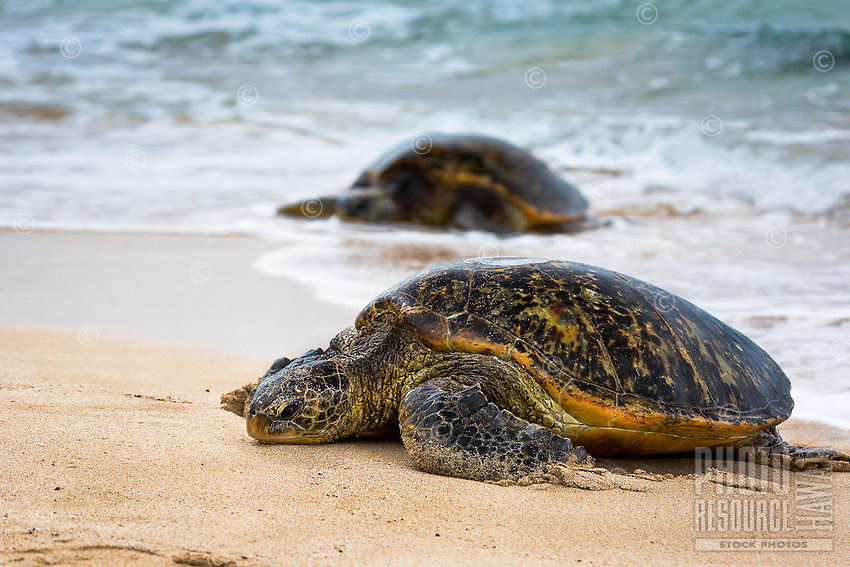 Green sea turtles (or honu) rest on the shore of a beach in Hawai'i.