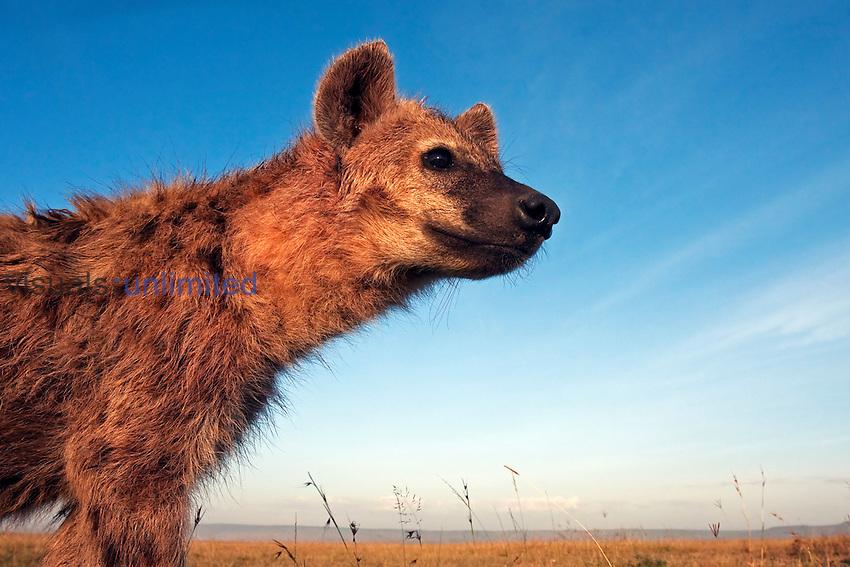 Spotted Hyena adolescent face (Crocuta crocuta), Masai Mara, Kenya.