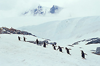 Gentoo Penguins (Pygoscelis papua)  walking up to nesting area from ocean, Antarctic