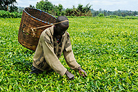 KENYA, Muranga, village Ndiriti, worker harvest tea leaves