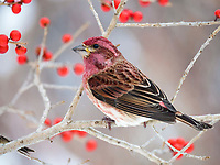 purple finch, Carpodacus purpureus, male, perched on tree branch with berries, Nova Scotia, Canada
